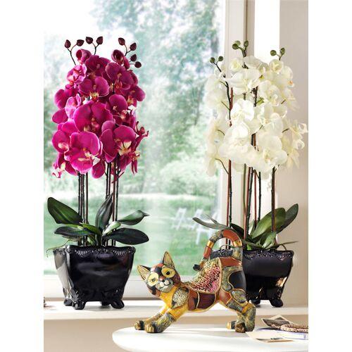 Phalaenopsis  Fuchsia
