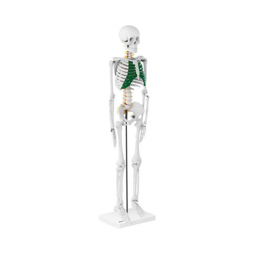 physa Mini Skelett PHY-SK-5