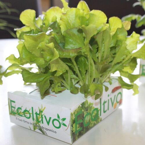Ecoltivo Grüner Salat Hydrokultur