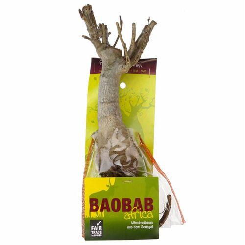 MyBaobab - Végétaux d´Ailleurs Baobab Setzling - Lebensbaum - S/m - Zimmerpflanze  M