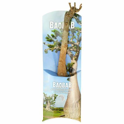 MyBaobab - Végétaux d´Ailleurs Baobab Setzling - Lebensbaum - S/m - Zimmerpflanze  S