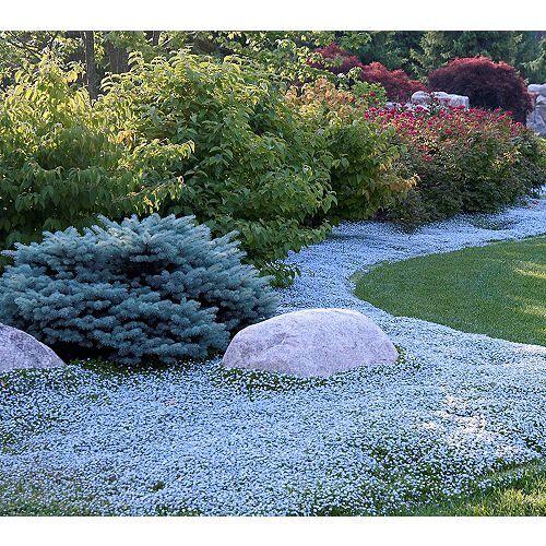 KEYZERS® Rarität Bodendecker blauer Teppich 6 Pflanzen
