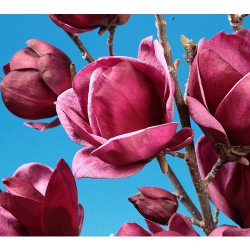 KEYZERS® asiatische Magnolie winterhart Rarität 1 Pflanze