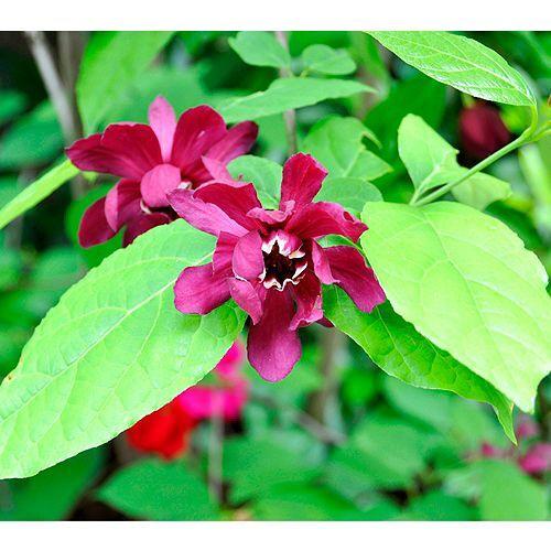 KEYZERS® Orchid-Strauch leicht duftend Rarität 1 Pflanze