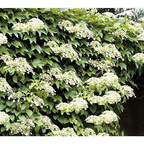 KEYZERS® Kletter-Hortensie mehrjährig winterhart Rarität, 1 Pflanze