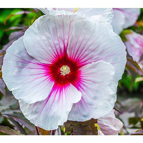 KEYZERS® Staudenhibiscus XXL-Blüten Rarität 1 Pflanze