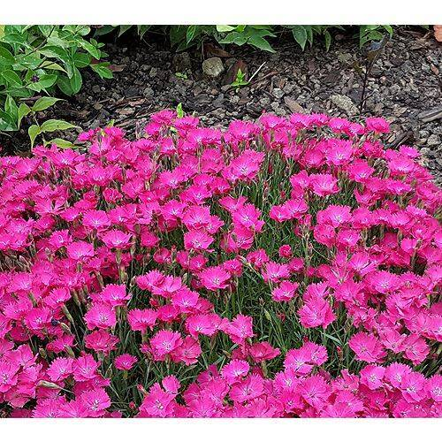 KEYZERS® Bodendecker Duft-Nelken Rarität 6 Pflanzen