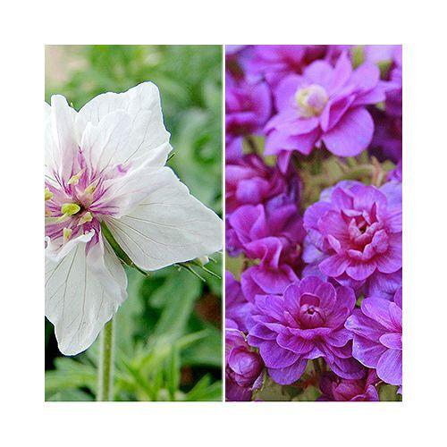 KEYZERS® Geranium doppelt gefüllt winterhart 5 Pflanzen