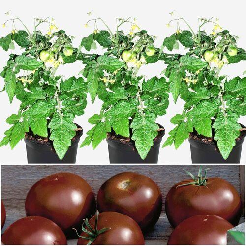 Volmary Gemüsepflanze »Tomate Schokolade« Set, 3 Pflanzen