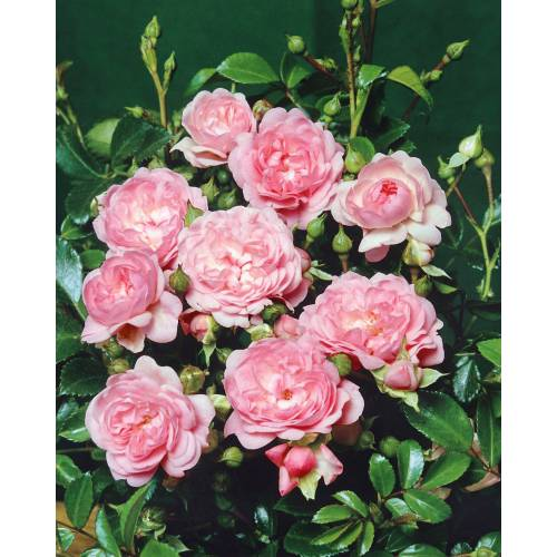 """BCM Beetpflanze »Bodendeckerrose """"The Fairy""""«"""