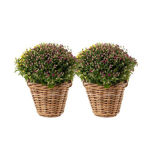 Tchibo 2 Chrysanthemen-Büsche im Rattankorb Büsche mehrfarbig Körbe Rattan naturfarben