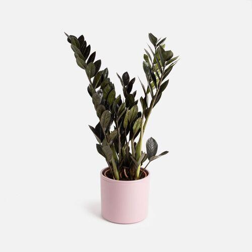 Colvin Pflanzen Online Kaufen - Fiona Big - Zamioculca ZZ Pflanzen - Colvin