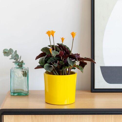 Colvin Pflanzen Online - OSCAR - Pflanzen Calathea Crocata - Colvin