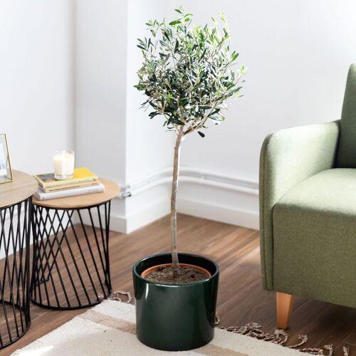 Colvin Pflanzen Online - Pflanzen Olea Europaea - XL DANTE - Colvin