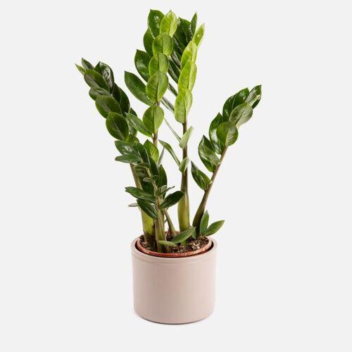 Colvin Pflanzen Online Kaufen - FIONA - Pflanzen Zamioculcas - Colvin