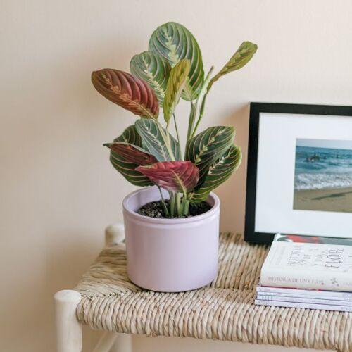Colvin Pflanzen Online Kaufen - LITTLE MERCURY - Pflanzen Maranta Klein - Colvin