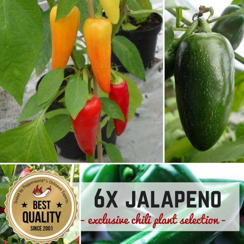 Pepperworld JALAPENO MAL SECHS BIO Pflanzen-Power-Pack
