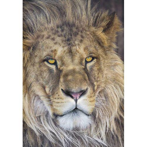 Komar Lion Fototapete 127x184cm
