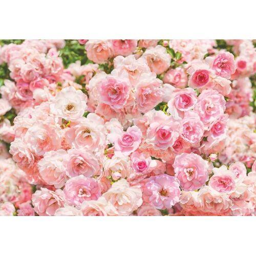 Komar Rosa Fototapete 368x254cm