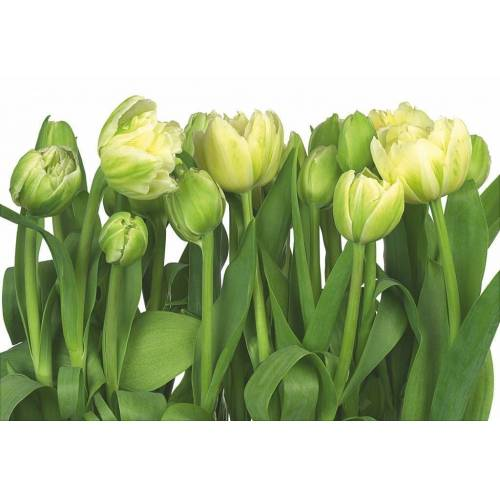 Komar Tulips Fototapete 368x254cm