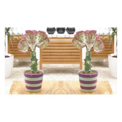 Groupon Goods Global GmbH 1x, 2x oder 4x Wolfsmilch (Euphorbia lactea) Pflanze