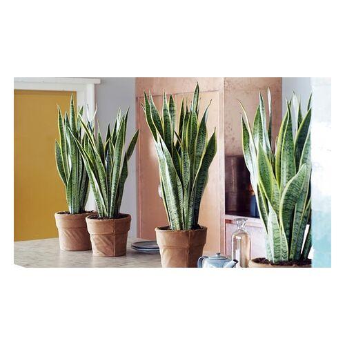 Groupon Goods Global GmbH 2x oder 4x Sansevieria-Zimmerpflanze