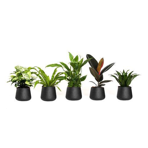 Groupon Goods Global GmbH OH2 5er-Set luftreinigende Zimmerpflanzen