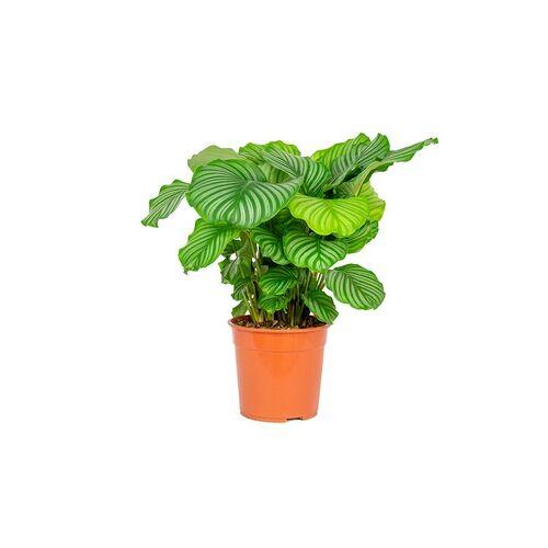 Groupon Goods Global GmbH XL Zimmerpflanze Calathea orbifolia mit luftreinigenden Eigenschaften