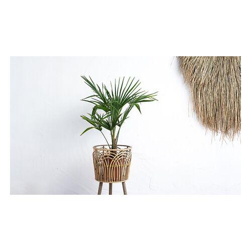 Groupon Goods Global GmbH 2er-Set OH2 Chinesische Hanfpalmen (Trachycarpus fortunei) in der Größe nach Wahl