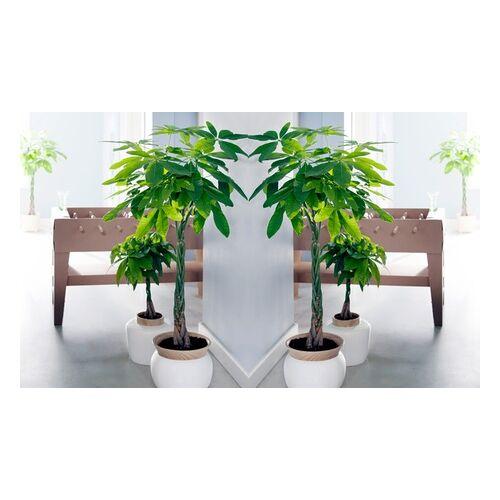 Groupon Goods Global GmbH 2x oder 4x Zimmerpflanze Glückskastanie