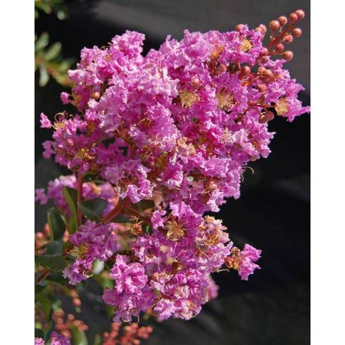 HSE Lagerstromia Pink