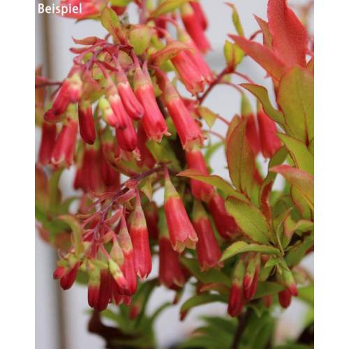 Kuders Pflanzenparadies Immergrüne Heidelbeere