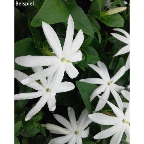 """Kuders Pflanzenparadies Duftender Jasmin """"Angelwings"""""""