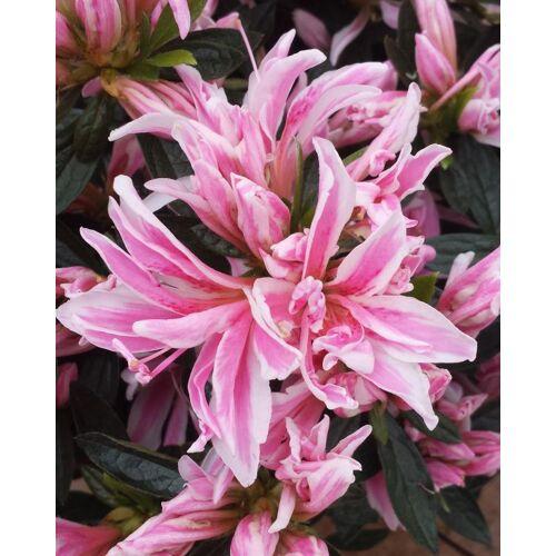 Kuders Pflanzenparadies Azalee Spider Pink