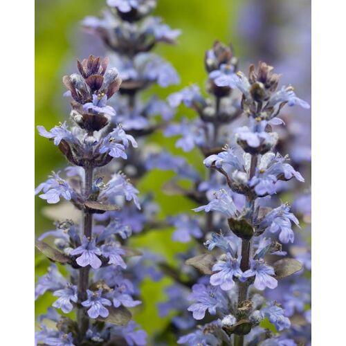 """Kuders Pflanzenparadies Bienenfreundl. Bodendecker """"Ajuga""""; 4tlg."""