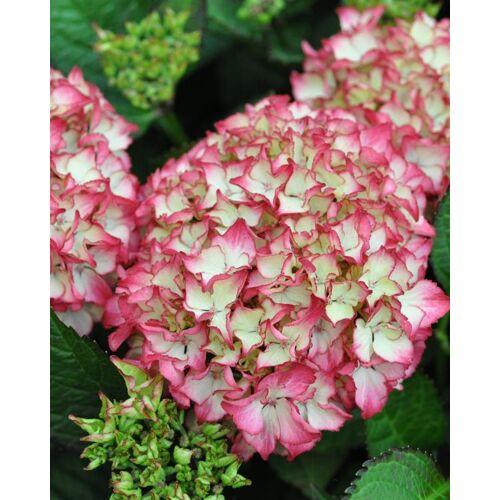 Kuders Pflanzenparadies Hortensie  Anouk