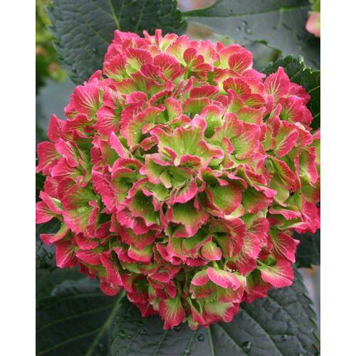 Kuders Pflanzenparadies Hortensie Magical Anouk