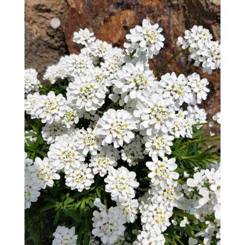 Kuders Pflanzenparadies Immergrüne Schleifenblume
