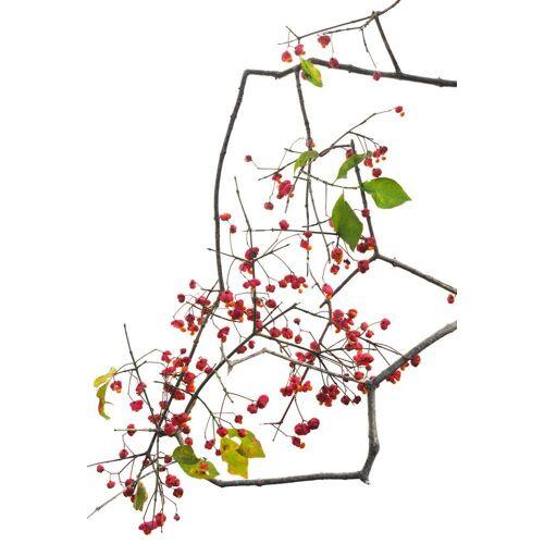 """JUNIQE Glasbild Blätter & Pflanzen """"Flora - Pfaffenhut"""" von JUNIQE - Künstler: Tan Kadam"""