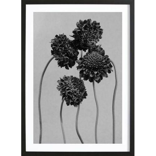 """JUNIQE Bild Blumen """"Staub - Schokoladenblume"""" von JUNIQE - Künstler: Tan Kadam"""