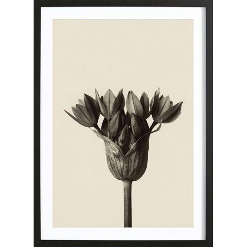 """JUNIQE Bild Blätter & Pflanzen """"Allium Ostrowskianum, Knoblauchpflanze - Karl Blossfeldt"""" von JUNIQE - Künstler: Artokoloro"""