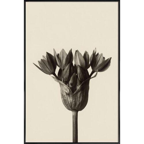 """JUNIQE Poster Blätter & Pflanzen """"Allium Ostrowskianum, Knoblauchpflanze - Karl Blossfeldt"""" von JUNIQE - Künstler: Artokoloro"""