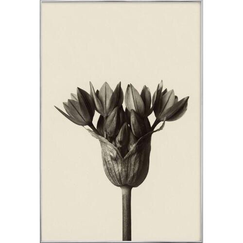 """JUNIQE Poster im Alurahmen Blätter & Pflanzen """"Allium Ostrowskianum, Knoblauchpflanze - Karl Blossfeldt"""" von JUNIQE - Künstler: Artokoloro"""