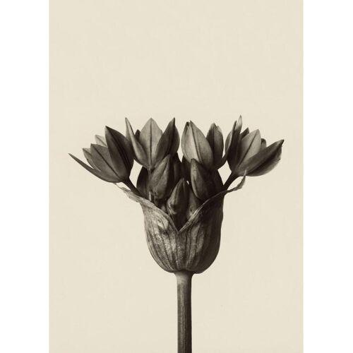 """JUNIQE Leinwandbild Blätter & Pflanzen """"Allium Ostrowskianum, Knoblauchpflanze - Karl Blossfeldt"""" von JUNIQE - Künstler: Artokoloro"""