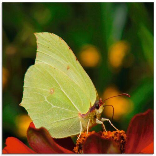 Artland Glasbild »Zitronenfalter«, Insekten (1 Stück)