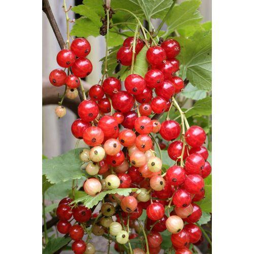 BCM Obstpflanze »Ribes sativum Blanka«, Lieferhöhe: ca. 40 cm, 1 Pflanze