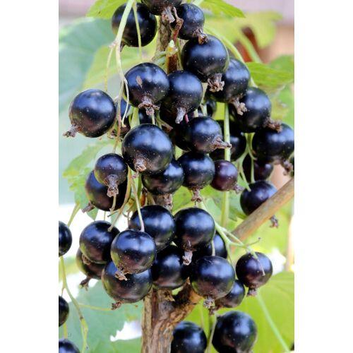 BCM Obstpflanze »Ribes rubrum Rolan«, Lieferhöhe: ca. 40 cm, 1 Pflanze