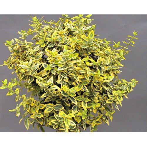 BCM Beetpflanze »Bodendecker Kriechspindel 'Emerald n Gold«