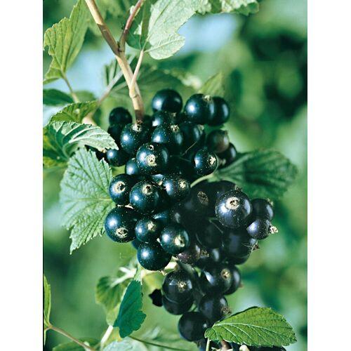BCM Obstpflanze »Jostabeere«, 2 Pflanzen