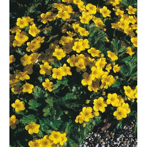 BCM Beetpflanze »Bodendecker Dreiblatt Golderdbeere«